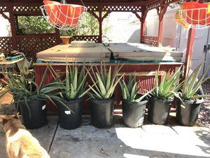 Large aloe Vera plants for Sale in North Las Vegas, NV