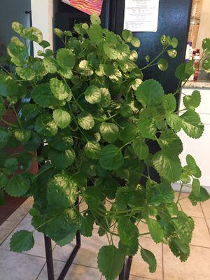 Plant for Sale in Fairfax, VA