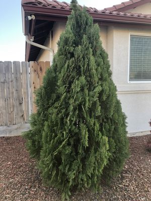FREE pine tree located in shafter. for Sale in Shafter, CA