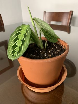 Maranta praying plant in a terra cotta pot for Sale in Fresno, CA