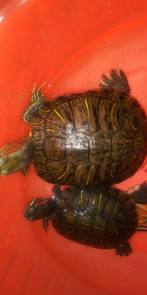 Turtles for Sale in San Bernardino, CA