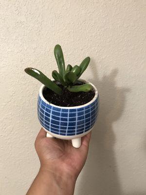 jade ogre ear succulent plant for Sale in Grand Prairie, TX