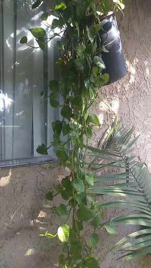 Palmita for Sale in Stanton, CA