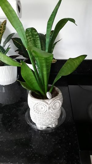 Sansevieria snake plant w owl flower pot for Sale in Cambridge, MA