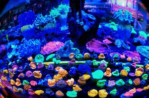 High End Coral Frags for Sale in Hialeah, FL
