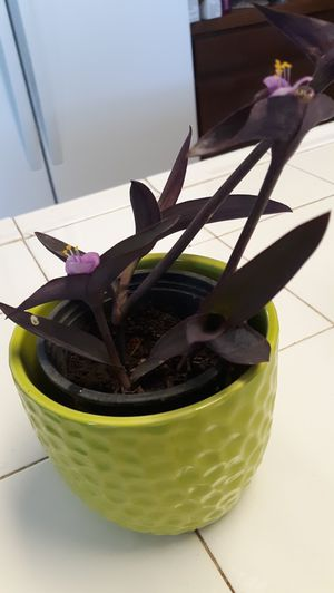 Purple succulent. Blooming for Sale in Reedley, CA