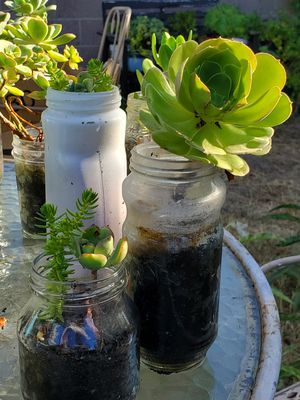 Succulent growing in recyclable glass container for Sale in Gardena, CA