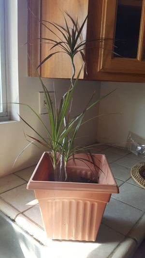 indoor or outdoor plant 28 inches tall for Sale in Covina, CA