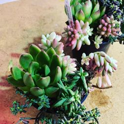 Succulent Combo Pot Plant for Sale in Vancouver,  WA