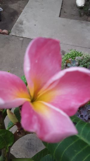 Almost 4 feet tall sunrise color plumeria plant only $25 for Sale in Whittier, CA