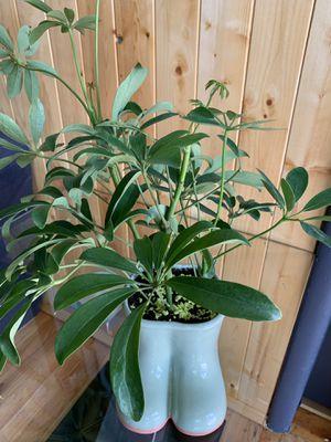 "Umbrella tree plant 15"" tall for Sale in Denver, CO"
