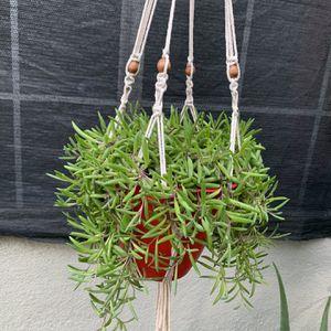 Succulent Grande Con Colgadera for Sale in Bell Gardens, CA