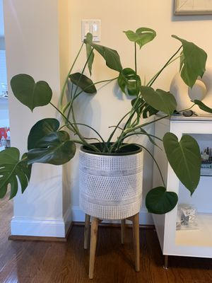 Monstera plant for Sale in Falls Church, VA