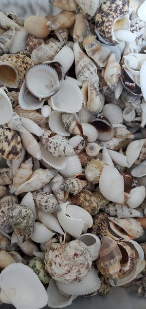Sea Shells Mixed / Various Sizes / Best Offer for Sale in Miami, FL