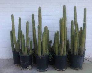 Tall Echinopsis Spachiana or Golden Torch cactus cacti plants for Sale in Tempe, AZ