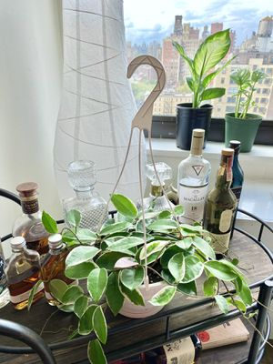 Variegated Hoya for Sale in New York, NY