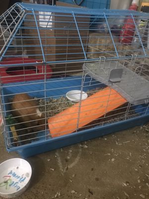 Guinea pigs for Sale in Peoria, IL