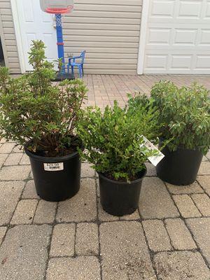 Shrub/bushes for Sale in Chicago, IL
