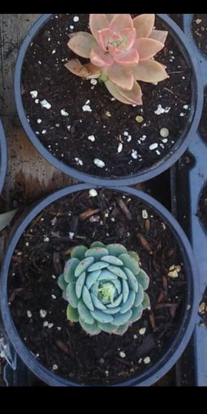Order succulent for Sale in Vista, CA