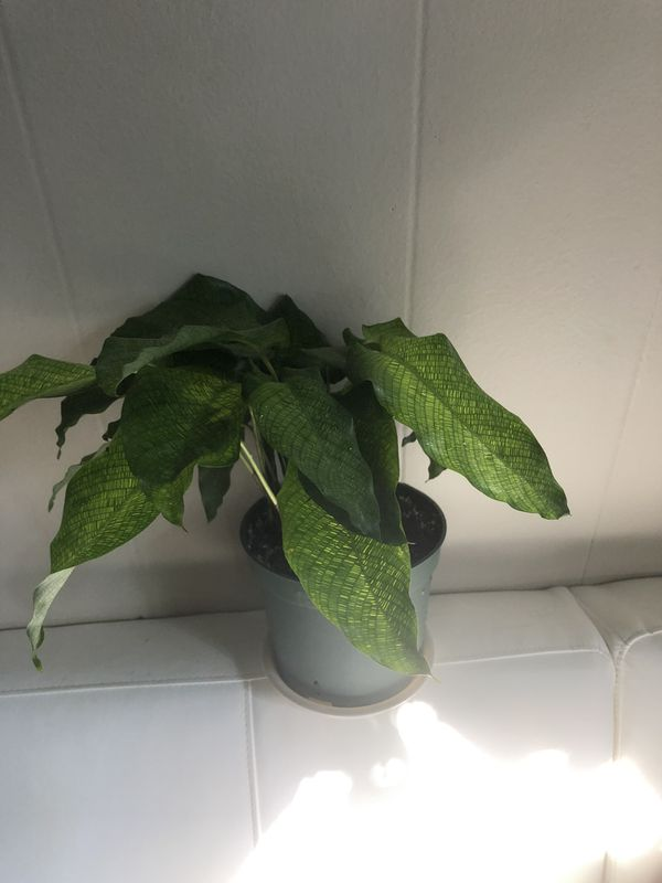 Rare Calathea Musaica-Network House Plant in a 5 inch Pot Gorgeous Foliage EXACT plant in Pictures