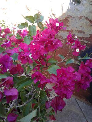 Bougainvillea $22 each for Sale in Santa Ana, CA