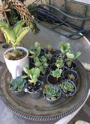 Succulents babies for Sale in Industry, CA
