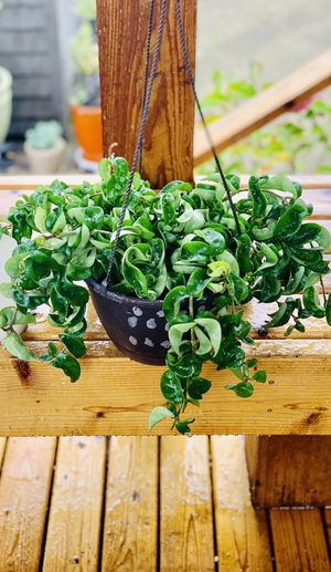Live indoor Hoya Hindu Rope house plant in a temporary plastic planter pot—firm price for Sale in Seattle, WA