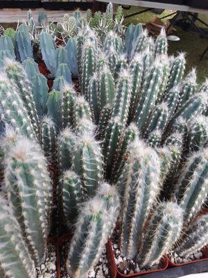 """2"""" pots with cactus plants $2 each for Sale in La Mirada, CA"""