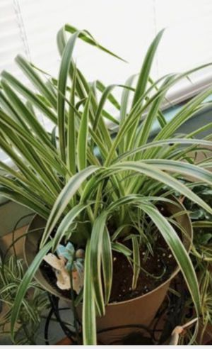 Spider plant onsale in 3 in pot for Sale in Ceres, CA