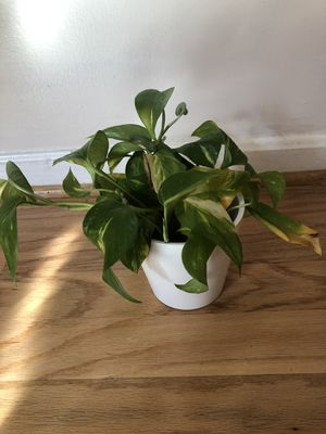Pothos Plant and Pot for Sale in Washington, DC