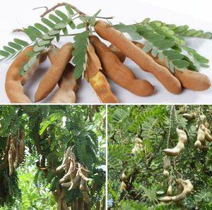 Sweet thai tamarind grafted trees in 3 gal arboles tamarindo dulce injertado for Sale in Boca Raton, FL