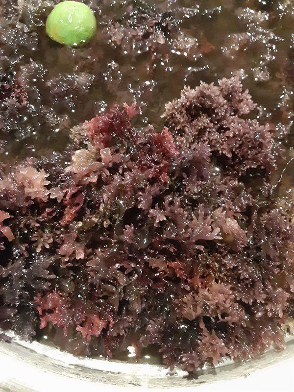 Chondrus Crispus Seamoss