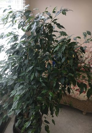 Real plant for sale for Sale in Ashburn, VA