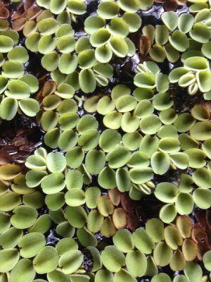 Freshwater plant sale 4 for $20 duckweed, asian moss, hornwort, java fern for Sale in Mesa, AZ