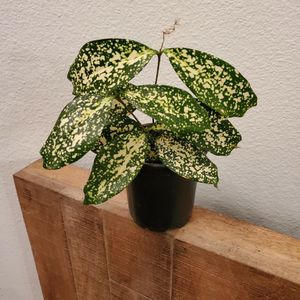 Gold Dust Dracaena Plant aka Florida Beauty for Sale in Pearland, TX