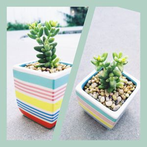 Pickle plant succulent in colorful pot for Sale in Rowland Heights, CA