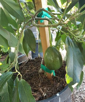 AVOCADO TREES.. HASS / FUERTE / STUART MEXICOLA /HYBRID /ZUTANO (( ALL OF THEM ARE GRAFTED )) $80. THEY ARE IN 15-GALLON  BUCKET for Sale in Rancho Cucamonga, CA
