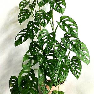 Monstera Swiss cheese plant for Sale in Oakley, CA