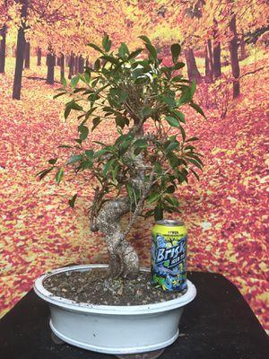 Bonsai: Large ficus retusa, > 15 yrs old for Sale in Malden, MA
