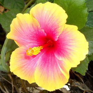 Hibiscus Hybrid Vincel for Sale in Brandon, FL