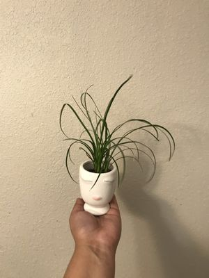 bottle ponytail palm tree plant for Sale in Grand Prairie, TX