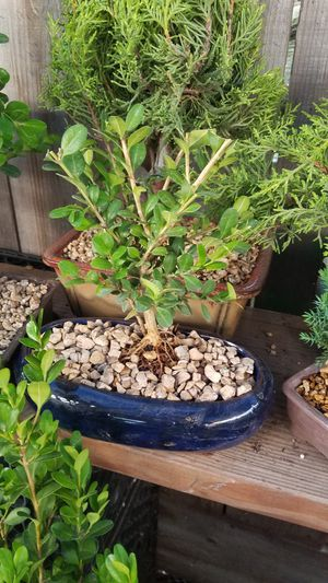 Boxwood bonsai plant for Sale in Fresno, CA