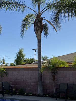 Palm tree for Sale in Los Angeles, CA