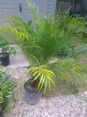 Pygmy Date Palm for Sale in San Antonio, TX