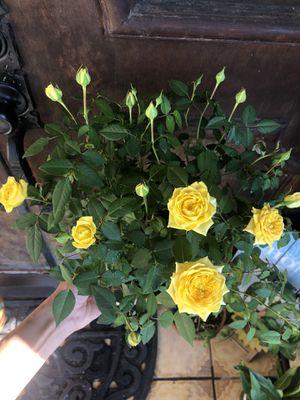 Beautiful mini roses plant! for Sale in Gardena, CA