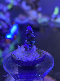 Blue Acropora for Sale in Cape Coral,  FL