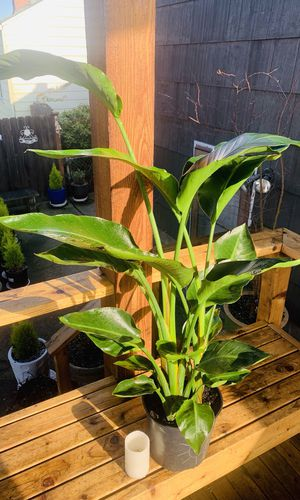 Live indoor White Bird of Paradise house plant in a temporary planter flower pot—firm price for Sale in Seattle, WA