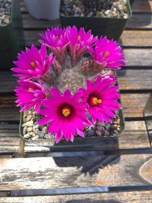 Cactus Rosita fuerte for Sale in Cudahy, CA