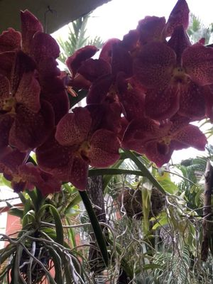 Giant vanda orchid with bloom spike pix r previous blooms for Sale in Hollywood, FL