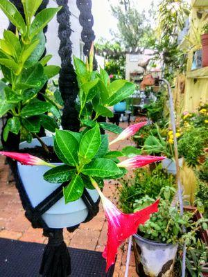 Mandevilla Flowers in Macrame for Sale in Kissimmee, FL